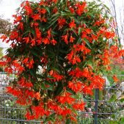 Begonia boliviensis  Bellavista Orange