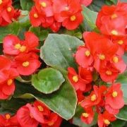 Begonia semperflorens  Sprint Red