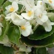 Begonia semperflorens  Sprint White