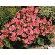 Begonia semperflorens Sprint Deep Pink
