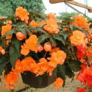 Begonia tuberhybrida Illumination Orange