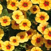 Calibrachoa hybrida  Celebration  Dream Kisses Orange Sunset