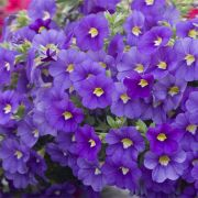 Calibrachoa hybrida  Celebration Indigo