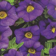 Calibrachoa hybrida Calita Dark Blue