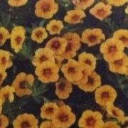 Calibrachoa hybrida Calita Yellow Red Morn