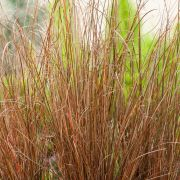 Carex-buchananii-Red-Rooster
