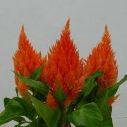 Celosia plumosa  Calimba Orange