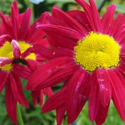 Chrysanthemum-coccineum-Robinson-Red