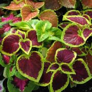 Coleus blumei  Wizard Mix
