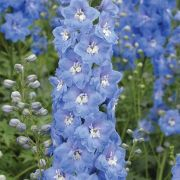 Delphinium-cultorum-M.F.-Sky-Blue--White-Bee