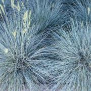 Festuca-glauca-Blue-Select