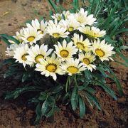 Gazania rigens  Mini-Star White