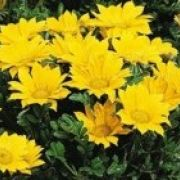Gazania rigens  Mini-Star Yellow