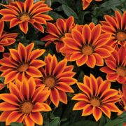 Gazania rigens Kiss Orange Flame