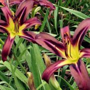 Hemerocallis-Black-Arrowhead