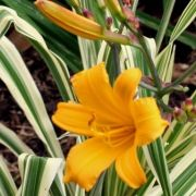 Hemerocallis-Golden-Zebra