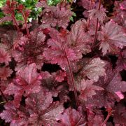 Heuchera-Midnight-Rose-select