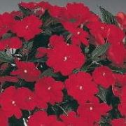 Impatiens Neu-Guinea  Harmony Dark Red