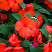 Impatiens walleriana  Campos Red