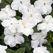 Impatiens walleriana  Campos White