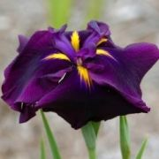 Iris ensata 'Midnight Star'