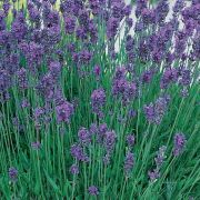 Lavandula-angustifolia-Blue-Scent-Early