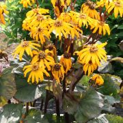 Ligularia-dentata-Midnight-Lady