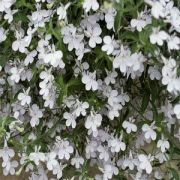 Lobelia erinusa  Hot White