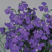 Lobelia tenuior  Blue Wings
