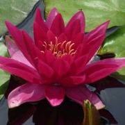 Nymphaea 'Escarboucle'