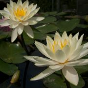 Nymphaea 'Inner Light'