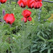 Papaver-orientale-Beauty-of-Livermere