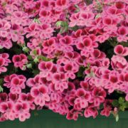 Pelargonium grandiflorum Candy Flowers Pink with Eye