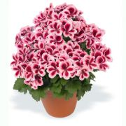 Pelargonium grandiflorum Candy Flowers Strawberry Cream