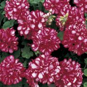 Pelargonium peltatum Corriente Arctic Red
