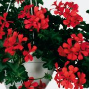 Pelargonium peltatum Grand Idols Orange