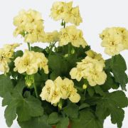 Pelargonium zonalis First Yellow