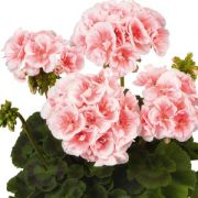 Pelargonium zonalis Salmon Queen