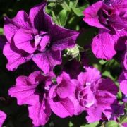 Petunia Happytoonia Double Purple