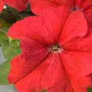 Petunia grandiflora Finity  Red
