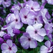 Phlox-paniculata-Jeffs-Blue