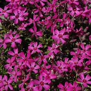Phlox-subulata-Temiskaming