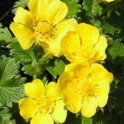 Potentilla-atrosanguinea-Golden-Starlit