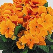 Primula-elatior-Crescendo-Orange