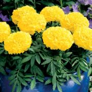 Tagetes erecta Antigua  Yellow