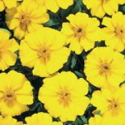 Tagetes patula Disco Golden Yellow