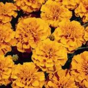 Tagetes patula Texana Orange