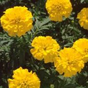Tagetes patula Texana Yellow