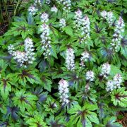 Tiarella-Sugar-and-Spice