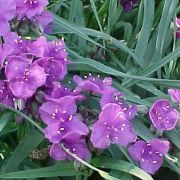 Tradescantia-and.-Concord-Grape